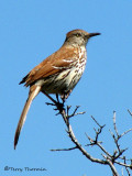 Brown Thrasher 7a.jpg