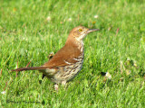 Brown Thrasher 10a.jpg