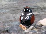Harlequin Duck 13a.jpg