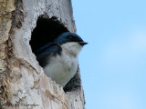 Tree Swallow in natural cavity 1a.jpg