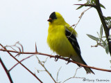 American Goldfinch 8a.jpg