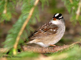 White-crowned Sparrow 18a.jpg