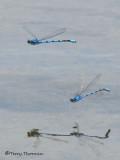 Enallagma sp - Bluet in flight 5b.jpg