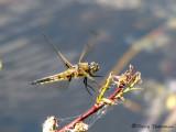 Libellula quadrimaculata- Four-spotted Skimmer landing 1a.jpg