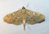 Herpetogramma aeglealis - 5280 - Serpentine Webworm Moth