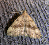 Phalaenostola eumelusalis (?) - 8363