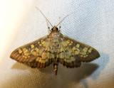 Diacme elealis - 5142 - Paler Diacme Moth
