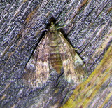 Synclita obliteralis (?) - 4755 - Waterlily Leafcutter Moth