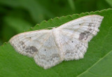 Scopula limboundata - 7159 - Large Lace-border moth
