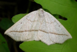 Eusarca confusaria - 6941 - Confused Eusarca Moth