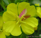 Schinia florida - 11164 - Evening Primrose Moth