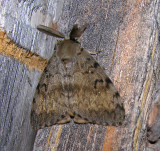 Lymantria dispar - 8318 - Gypsy Moth