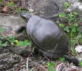 Painted Turtle - Chrysemys picta - climbing over rocks