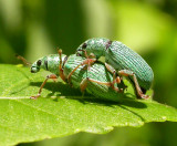 Polydrusus sp. -pair mating