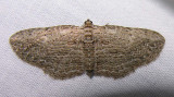 Horisme intestinata - 7445 -- Brown Bark Carpet Moth