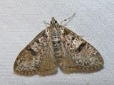 Palpita arsaltealis (?) - 5222