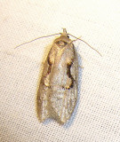 Semioscopis packardella - 0913 - Semioscopis Moth