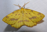 Xanthotype urticaria - #6740 - False Crocus Moth