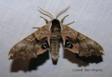 Smerinthus cerisyi - 7822 - One-eyed Sphinx