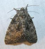 moth-07-June-2008-1.jpg