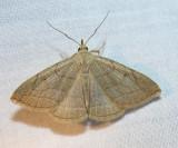 Zanclognatha pedipilalis (?) - 8348 - Grayish Zanclognatha Moth