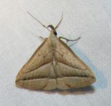 Macrochilo absorptalis (?) - 8357 - Slant-lined Owlet Moth