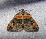 Dysstroma hersiliata - 7189 - Orange-barred Carpet Moth