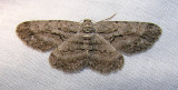 Anavitrinella pampinaria (?) - 6590 -- Common Gray Moth