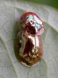 Charidotella sexpunctata bicolor - view 1