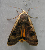 Noctua pronuba - 11003.1 - Large Yellow Underwing