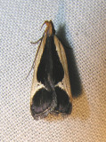 Dichomeris flavocostella - 2295 - Cream-edged Dichomeris Moth