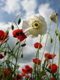 Wonderful White Poppy