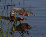 Green Heron on Attack