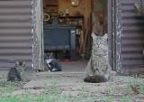 Old Albert watching his cats through the shop door  June 5, 2006