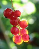 Red Currants-1