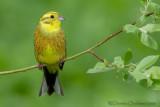 Yellowhammer (Zigolo giallo)