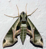 Pandora Sphinx Moth.jpg