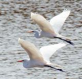 Pair of Egrets.jpg