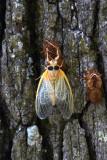 Cicada.jpg