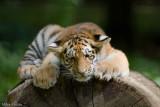 Sinda & Bira, Siberian Tiger cubs