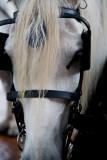 Savannah carriage horse