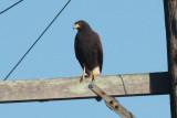 Harris's Hawk, Rayne, LA, 11/2/09
