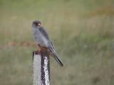 030105 aa Amur Falcon Suikersbosrand.jpg