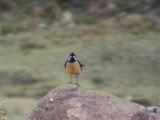 030107 kk Drakensberg rock-jumper Sani Pass.jpg