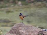 030107 ll Drakensberg rock-jumper Sani Pass.jpg