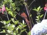 030109 g African paradise flycatcher Oribi Gorge.jpg