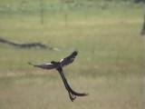 030114 jj Long-tailed widowbird Wakkerstrom.jpg