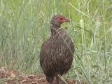 030117 e Swainson´s spurfowl Kruger NP.jpg