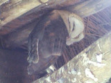 030118 ff Barn owl Kruger NP.jpg