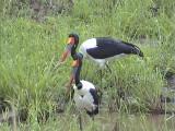 030118 lll Saddle-billed stork Kruger NP.jpg